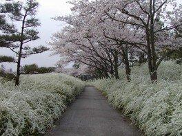 愛知県緑化センターの桜 画像(2/3)