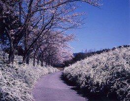 愛知県緑化センターの桜 画像(3/3)