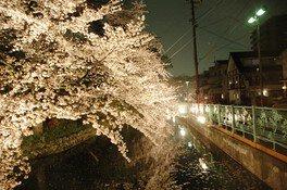 高崎城址公園の桜 画像(2/2)