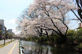 高崎城址公園の桜 画像(3/3)