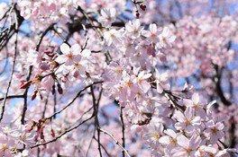 六義園の桜 画像(2/4)