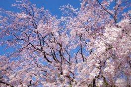 六義園の桜 画像(3/4)