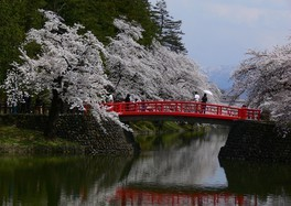 松が岬公園の桜 画像(3/3)