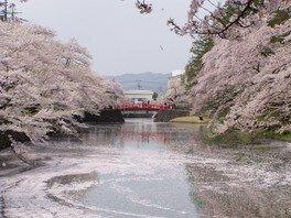 松が岬公園の桜 画像(5/5)