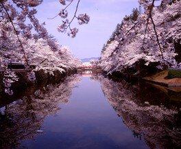松が岬公園の桜 画像(2/5)
