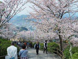 千光寺公園の桜 画像(3/5)