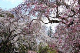都立神代植物公園の桜 画像(3/5)