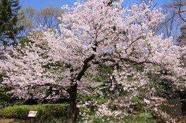 都立神代植物公園の桜 画像(4/5)