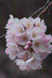 都立神代植物公園の桜 画像(5/5)