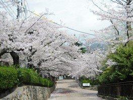 神戸市立王子動物園の桜 画像(3/4)