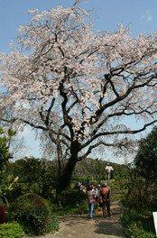 宝珠寺の桜 画像(2/5)