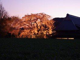 宝珠寺の桜 画像(5/5)