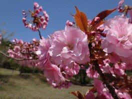 昭和の森の桜 画像(2/4)