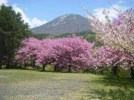 昭和の森の桜 画像(4/4)