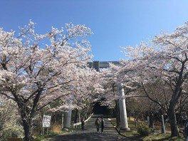 愛宕山(中腹)の桜 画像(2/4)