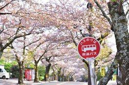 伊豆高原桜並木 画像(2/4)