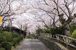 日和山公園の桜 画像(3/3)