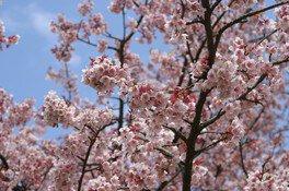 さくらの里の桜 画像(4/5)