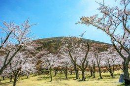 さくらの里の桜 画像(5/5)