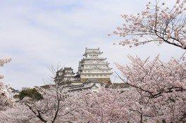 姫路城の桜 画像(2/5)