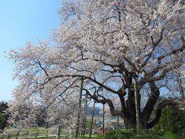 戸津辺の桜 画像(2/2)