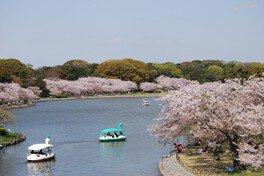 明石公園の桜 画像(3/3)
