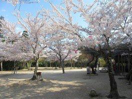 宮島の桜 画像(2/2)