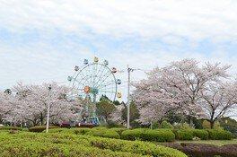 観音池公園の桜 画像(2/5)