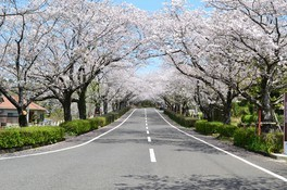 観音池公園の桜 画像(4/5)