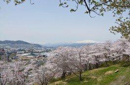 寒河江公園の桜 画像(2/2)