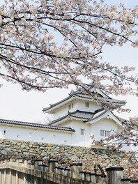 舞鶴城公園の桜 画像(2/2)