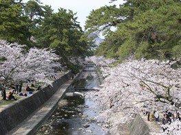 夙川河川敷緑地(夙川公園)の桜 画像(2/3)