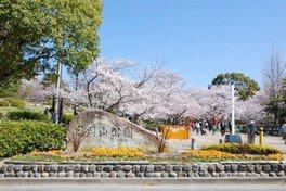 日岡山公園の桜 画像(2/2)