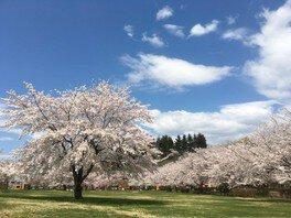 東公園さくら山の桜 画像(2/2)