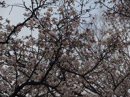 三ツ沢公園の桜 画像(2/3)