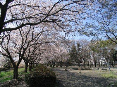 伊佐沼公園・伊佐沼の桜