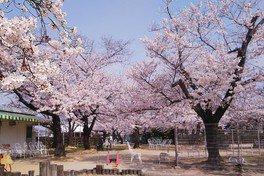 RSKバラ園の桜 画像(2/3)