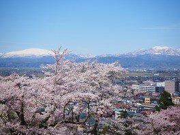 天童公園の桜 画像(4/4)