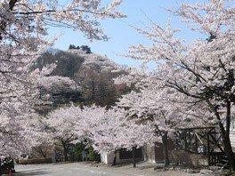 桜山公園の桜 画像(2/3)