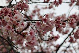 日比谷公園の桜 画像(2/3)