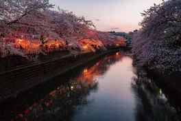 大岡川プロムナードの桜 画像(2/3)