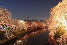 大岡川プロムナードの桜 画像(3/3)