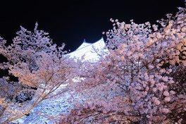 津山城(鶴山公園)の桜 画像(2/4)
