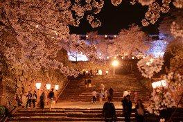 津山城(鶴山公園)の桜 画像(3/4)