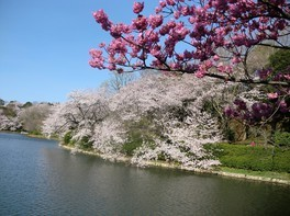 県立三ツ池公園の桜 画像(2/3)