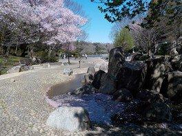 県立三ツ池公園の桜 画像(4/4)