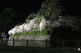 駿府城公園の桜 画像(2/2)