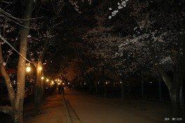 市制記念公園の桜 画像(2/2)