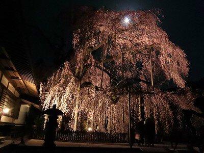 慈雲寺の桜