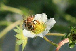 授粉するミツバチ